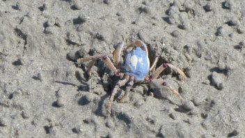 Crab-P1040059