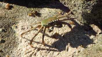 Crab-P4200102