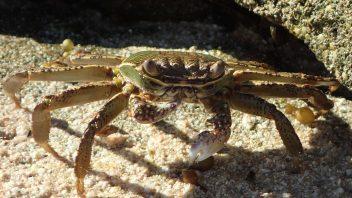 Crab-P4200104