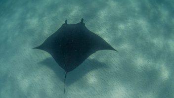 Manta-Ray-Coral-Bay-WA_DSC3553
