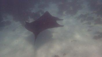 Manta Ray, Coral Bay, WA