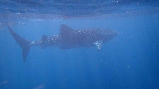 Whale-Shark-0-Ningaloo-Marine-Park-WA
