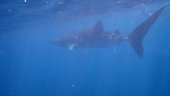 Whale-Shark-2-Ningaloo-Marine-Park-WA