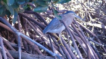 Yardie_Creek-WA-Striated_mangrove_Heron_P1240658
