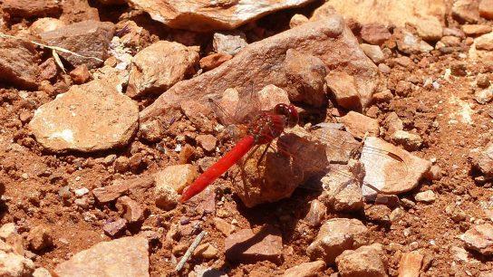 Scarlet-Percher Dragonfly
