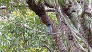 booderee-jervis-bay-black-faced-cuckoo-shrike
