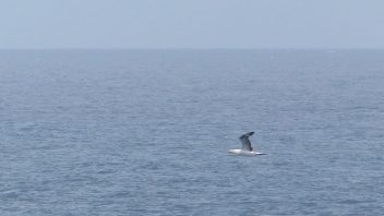 booderee-jervis-bay-gannet