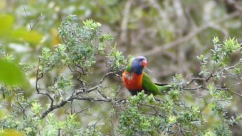booderee-jervis-bay-rainbow-lorikeet