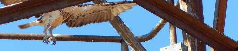Les ospreys