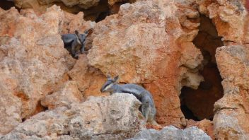 Yardie-Creek-WA-Rock-Wallabie_P1240663