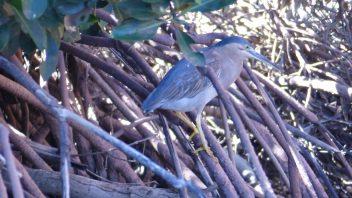 Yardie_Creek-WA-Striated_mangrove_Heron_P1240658