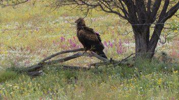 Wredge Tailes Eagle