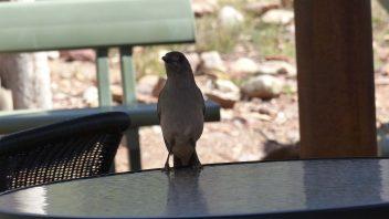 Grey-Shrike Thrush