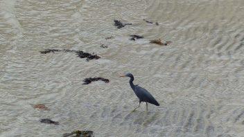 booderee-jervis-bay-eastern-reef-egret